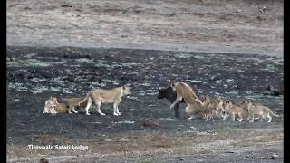 Watch how Lion Cubs take on their first Buffalo!