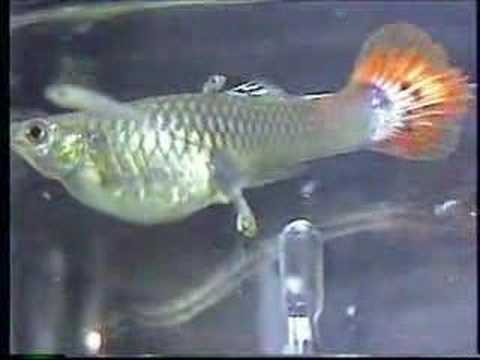 Quick fun how guppies are born starring big mama for How long is a guppy fish pregnant