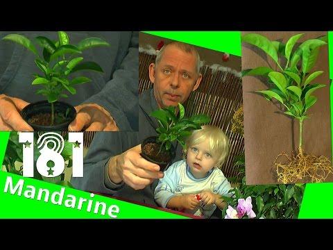 Mandarine zum Bonsai heran ziehen