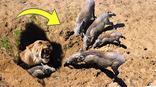 OH MY GOG! Harsh life of Warthog! The God can't help Warthog escape the power of Lions