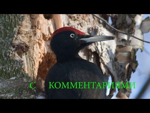 Птицы России  В лесах Подмосковья. С комментариями