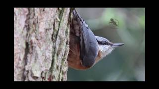 Welke vogel heb ik in mijn tuin - 25 soorten tuinvogels / Garden birds