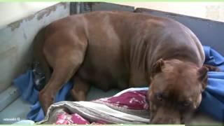 Animal World Dog gives birth  : Pit Bull Puppy