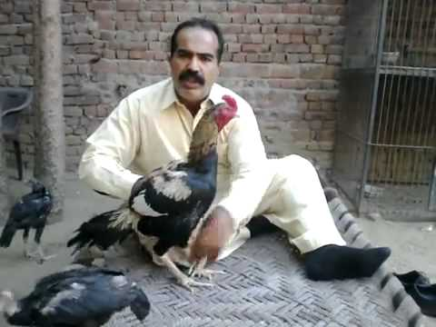 aseel murg training sialkot,   YouTube
