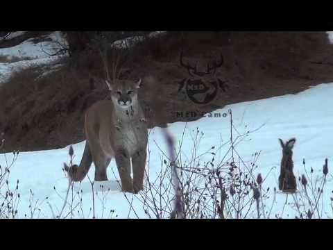 M2D CAMO Calling in a Cougar