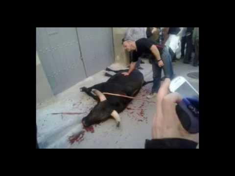 Abatido un toro que se ha escapado de un festejo en Tauste, hiriendo a una joven