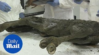 Scientists discover 40,000 year old horse in Siberian permafrost