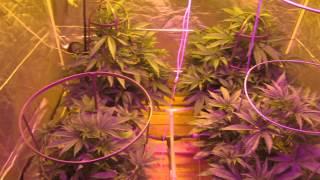 Legal Medical Marijuana Grow - Blue Dream & Skunk (F1) 1800W DWC
