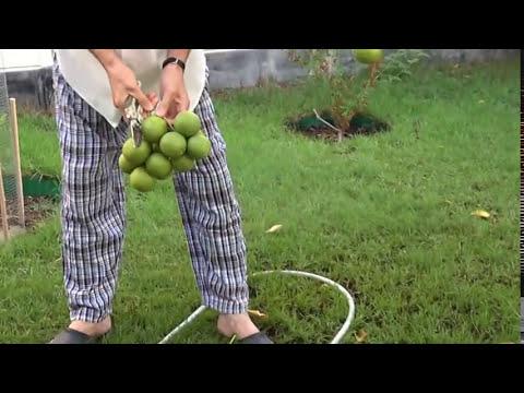حصاد ليمون ايراني Harvesting Bearss Lime thumbnail