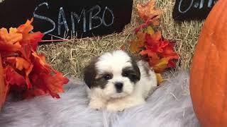 Sambo-Male Shorkie