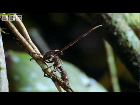 Cordyceps: attack of the killer fungi - Planet Earth Attenborough BBC wildlife