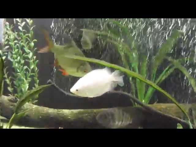 Mixing Fish, Oscar, Clown Knife, Firemouth Cichlids, Large fish tank