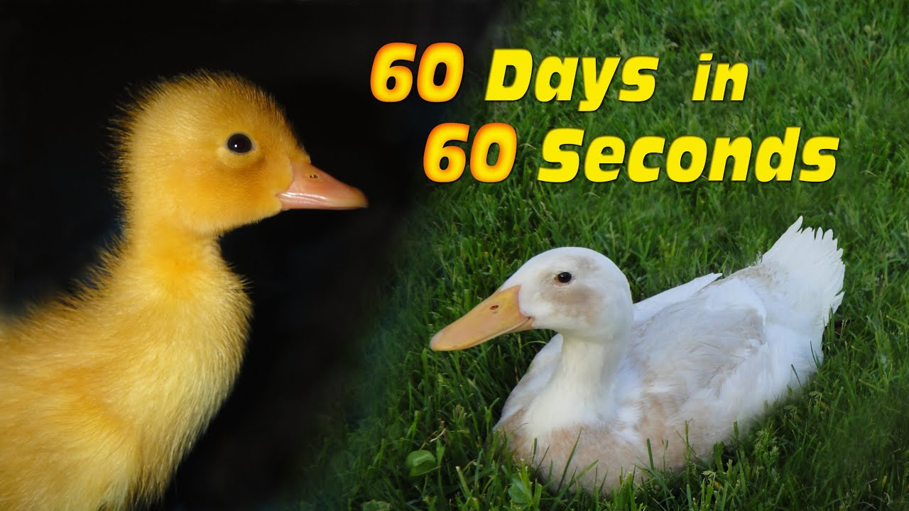 Duckling to Duck in 60...