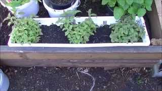 Growing Bee Balm, Lemon Balm, Tri-Color Sage: How to With Herbs