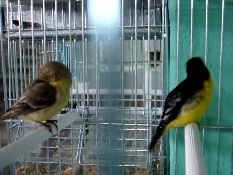 Carduelis psaltria jouyi (Chiruli,Chinchimbacal,Capita negra)