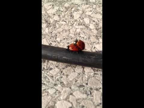 Frühlingsgefühle Unter Marienkäfern ;-) video