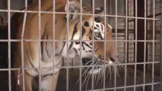 FOUR PAWS rescues last Bulgarian circus tiger