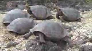Tortoise with problems in the Galapagos Islands