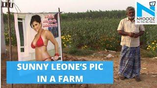 Farmer Puts Sunny Leone's Pic To Keep Crops Safe! | NYOOOZ TV