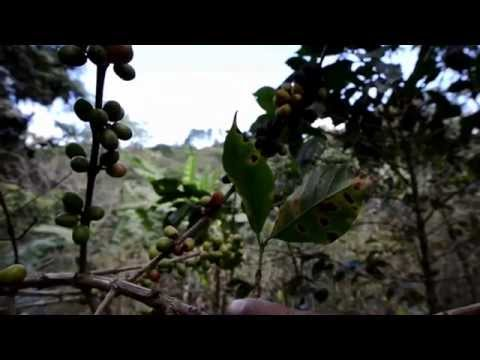 Climate Change Affecting Coffee Crops