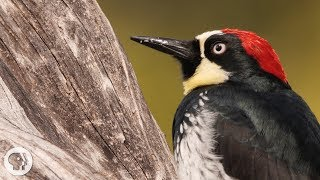 You'd Never Guess What an Acorn Woodpecker Eats | Deep Look