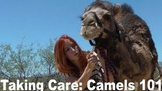 Camel Training 101: How to care for a pet camel