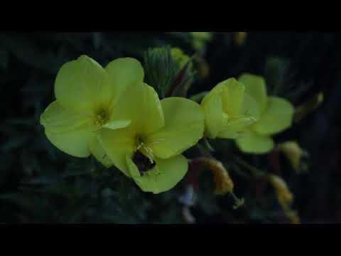 Aufblühende Nachtkerzen -  Oenothera - blossoming evening primrose