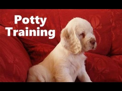 Training Spaniel Puppies a Clumber Spaniel Puppy
