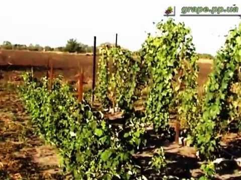 Видео как ухаживать за виноградом