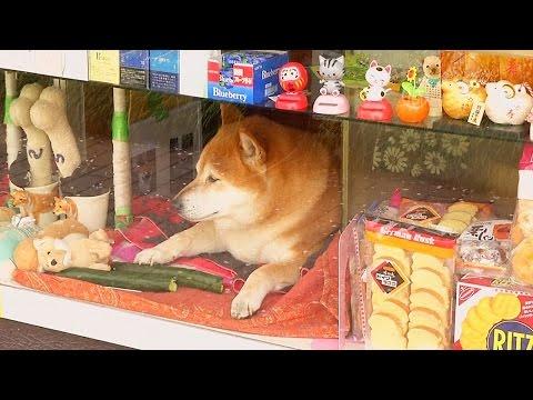 Собака-продавец Сиба стала звездой (новости)