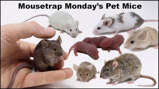 Meet Mousetrap Monday's Pet Mice & Rats.