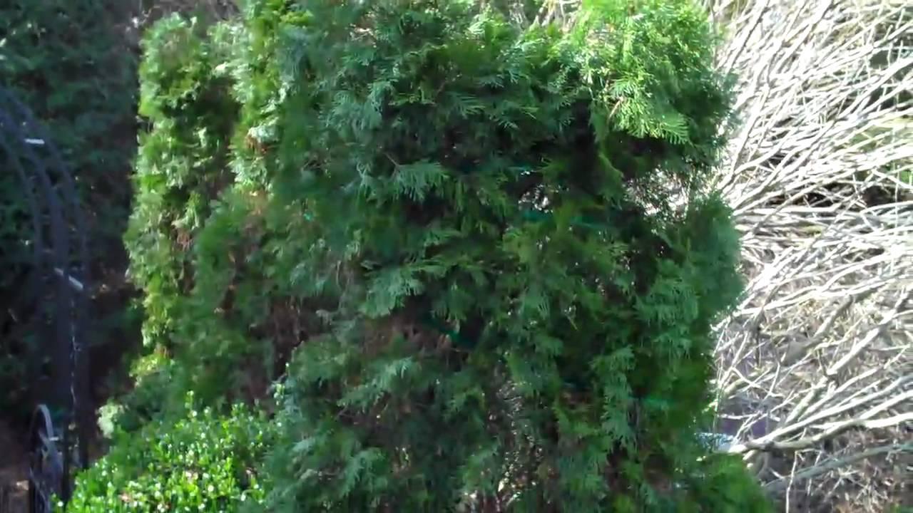 Staking tall evergreen trees youtube for Tall evergreen shrubs