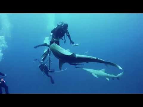 Lemon and Tiger Sharks in open water