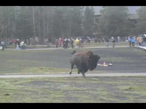Bison Attack At Old Faithful Yellowstone National Park