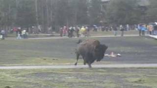 Bison attack at Old Faithful, Yellowstone National Park