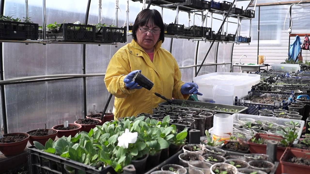 Выращивание петунии в теплице из семян 3479
