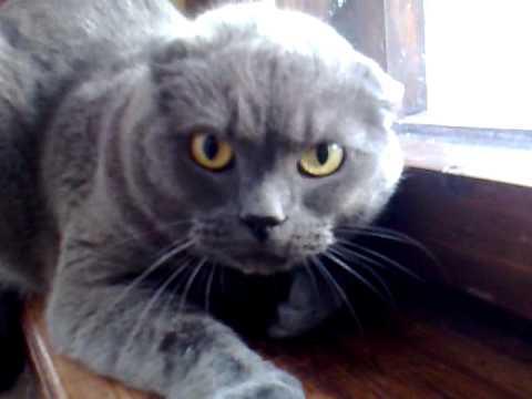 British Blue Gray Cat