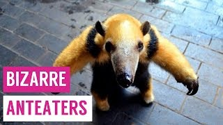 Anteaters Standing and Hugging Stuffed Toys Compilation!