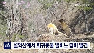 투/설악산에서 희귀동물 알비노 담비 발견