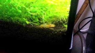 Dwarf orange crayfish thow itself out of his shell