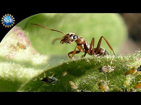 Leaf-cutter Ants - Science Nation