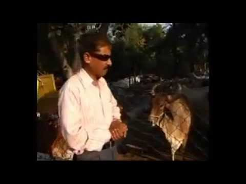 Hindus Of India Drink Cow's Urine As Energy Drink Lol video