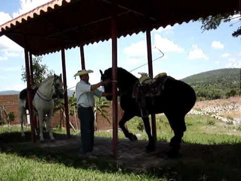 Caballos Bailadores al Estilo Tierra Caliente - Adestramiento Don Javier Jaimes: