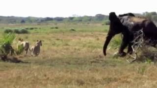 download lagu Elephants Chasing Lions In Tembe Elephant Park gratis
