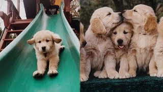 Funny and Cute Golden Retriever Puppies Compilation #2 - Cutest Golden Retriever