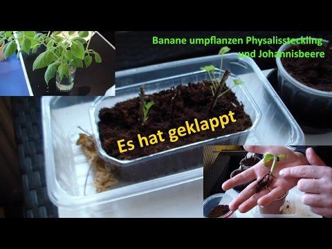 Pflanzen Anzucht Update / Physalis / Banane umpflanzen / Clementine
