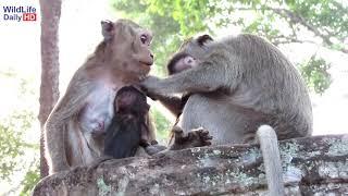 Amari Mother Monkey and Lori Dirty Baby Monkey, Newborn Baby Monkey