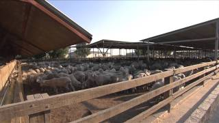 Live sheep export: Australians overseas caring for our sheep