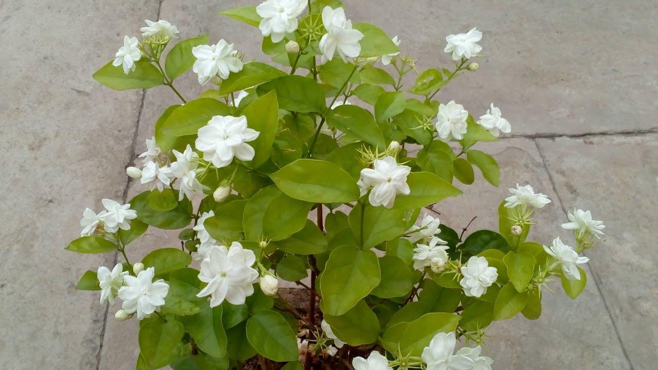 How to Grow Jasmine