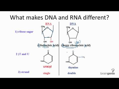 10.3.1 Differences between DNA and RNA